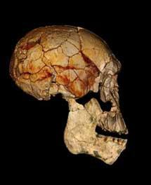 Combinación del cráneo 'KNM-ER 1470', (hallado en1972), y la nueva mandíbula, de la misma especie. | F. Spoor