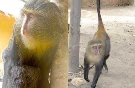 Un ejemplar adulto de 'C. lomamiensis' (i) y una hembra (d).| Emetshu/Hart