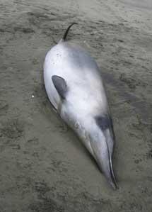 Al principio se identificó erróneamente como un zifio de Gray (en la imagen).| New Zealand Government