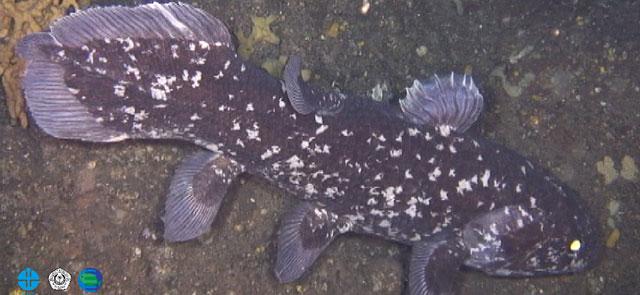 Un celacanto indonesio fotografiado en la costa de Manado, Indonesia. | Aquamarine Fukushima