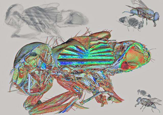 Imagen ganadora de la mosca capturada con un microtomógrafo. | Javier Alba Tercedor
