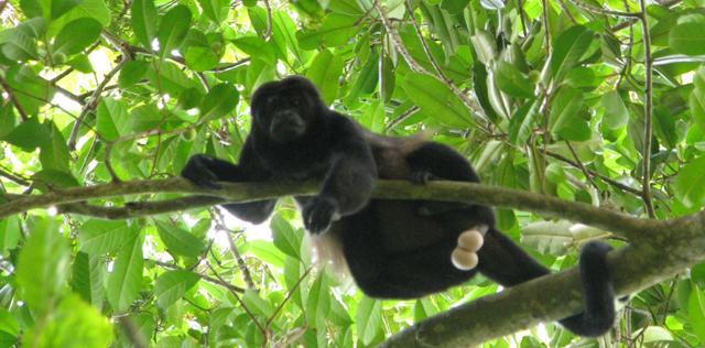 Un mono aúllador en el Parque Nacional de Corcovado (Costa Rica). | Pablo Herreros