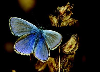 Ejemplar de 'Polyommatus icarus'. | Chris van Swaay