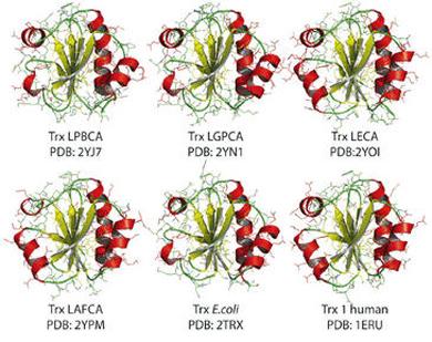 Estructura de tiorredoxinas resucitadas y de 'E. coli' y tiorredoxina humana.