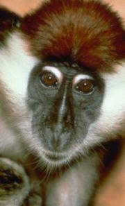 Historia del VIH/SIDA, del Mono al Hombre