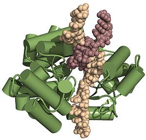 La proteína TERT (en verde) junto con el ARN (en color crema) y el ADN (en color burdeos). (Foto: Instituto Wistar)