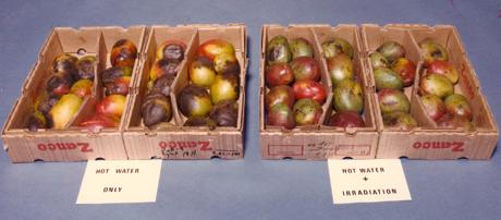 Maduración en mangos irradiados (izq.) y en mangos no irradiados.
