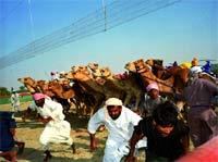El New CAmel Racing o 'hipódromo' de camellos.