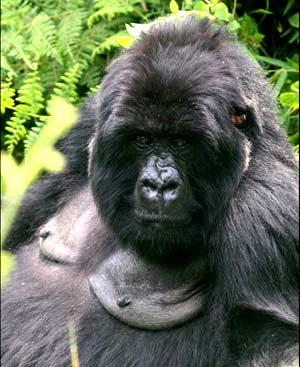 gorila de montana